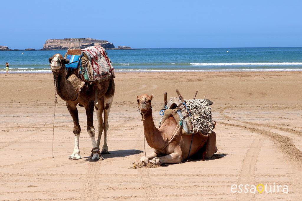 balade chameau plage essaouira